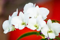 Белая орхидея на красном blackground Стоковая Фотография
