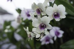 Белая орхидея после дождя Стоковое Изображение RF