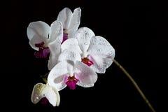 Белая орхидея фаленопсиса изолированная на черной предпосылке Стоковое фото RF