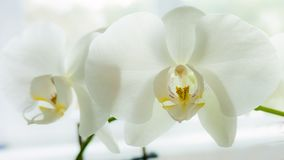 Белая орхидея фаленопсиса Стоковые Изображения