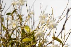 Белая орхидея цветет в голубом небе в Пхукете Таиланде Стоковое фото RF