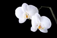 Белая орхидея цветет при роса изолированная на черноте Стоковые Изображения RF