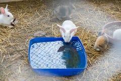 Белая питьевая вода кролика Стоковое фото RF