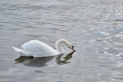 Белая питьевая вода лебедя от реки стоковые изображения rf