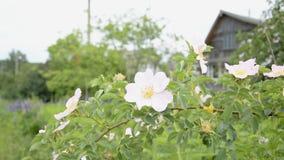 Белая предпосылка полевого цветка сток-видео
