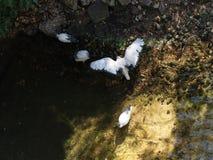Белая птица священный ibis распространяя свои крыла на озере стоковое изображение rf