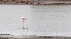 Белая птица фламинго стоя на озере и подавать Стоковое Изображение