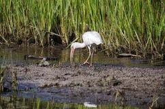 Белая птица фуражируя, охраняемая природная территория Ibis wading острова Pickney национальная, США Стоковые Фото