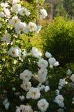 Белая роза Буша в свете солнца летом стоковая фотография rf