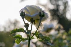Белая роза в солнечности Стоковые Фотографии RF