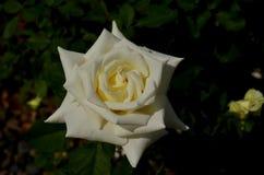 Белая роза одиночная определяет Стоковые Изображения RF