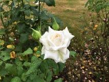 Белая роза после дождя лета стоковое фото