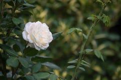 Белая роза с терниями в саде стоковое изображение rf
