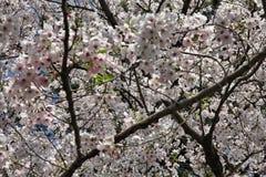 Белая Сакура в токио Стоковое Изображение RF