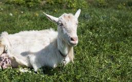 Белая смешная коза на цепи с длинной бородой пася на зеленом поле выгона в солнечном дне farming Украинские козы стоковая фотография