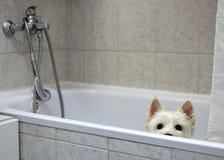 Белая собака ждет ливень в ванне стоковое фото rf