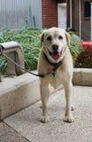 Белая собака Лабрадора стоя смотрящ камеру стоковые изображения rf