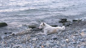 Белая собака лежа на каменном пляже морем видеоматериал