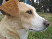Белая собака с коричневыми пятнами на своем наморднике сидит на траве стоковая фотография