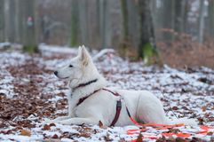 Белая собака чабана в снеге - Berger Blanc Suisse Стоковое Изображение RF