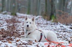 Белая собака чабана в снеге - Berger Blanc Suisse Стоковое Фото