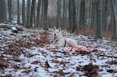 Белая собака чабана в снеге - Berger Blanc Suisse Стоковые Изображения RF