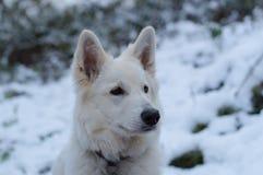 Белая собака чабана в снеге - Berger Blanc Suisse Стоковые Фотографии RF