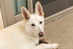 Белая собака чабана снаружи Стоковое Изображение RF