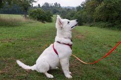 Белая собака чабана - Berger Blanc Suisse Стоковая Фотография RF