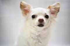 Белая собака чихуахуа смотря камеру стоковое изображение