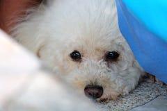 Белая собака щенка на уныло приурочивает стоковая фотография rf