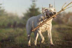 Белая собака retriever labrador бежит на луге с ручкой в рте Стоковое Фото