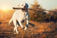 Белая собака retriever labrador бежит на луге с ручкой в рте Стоковые Фотографии RF
