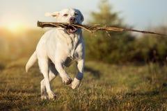 Белая собака retriever labrador бежит на луге с ручкой в рте Стоковые Изображения RF