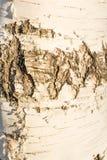 Белая текстура расшивы березы молодого дерева, в некоторых частях тонкий слой расшивы березы слезала Стоковые Изображения RF