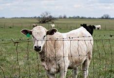 Белая телка за загородкой hogwire Стоковая Фотография RF