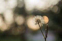 Белая трава цветет, предпосылка bokeh, выравнивая заход солнца Таиланд Стоковое Фото