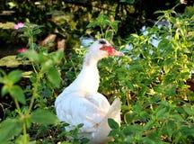 Белая утка в открытой ферме стоковые фотографии rf