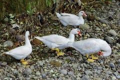 Белая утка идя на том основании стоковое фото