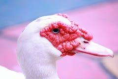 Белая утка Muscovy стоковые изображения rf