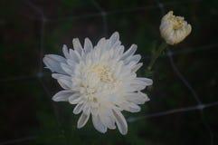 Белая хризантема входит в период полного цветения стоковое изображение rf