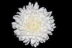 Белая хризантема Стоковая Фотография RF