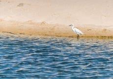 Белая цапля в воде Стоковые Фото