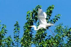 Белая цапля стоковая фотография rf