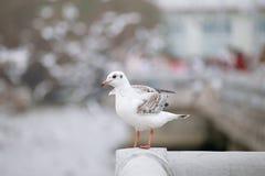 Белая чайка стоит на рельсе белого цемента моста над th Стоковое Изображение