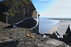 Белая чайка стоя на каменной стене Полная вода около старого аббатства Mont Свят-Мишеля на предпосылке Нормандия, Франция, европа Стоковая Фотография