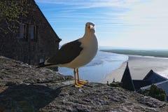 Белая чайка стоя на каменной стене Полная вода около старого аббатства Mont Свят-Мишеля на предпосылке Нормандия, Франция, европа Стоковые Фотографии RF