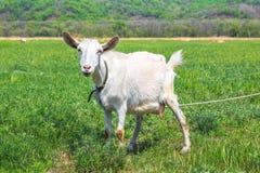 Белая horned коза связанная для того чтобы пасти весной или луг лета стоковые изображения