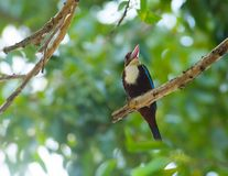 Белая Throated птица Kingfisher Стоковая Фотография
