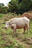 белизна азиатского буйвола буйвола альбиноса редкая Стоковое Фото